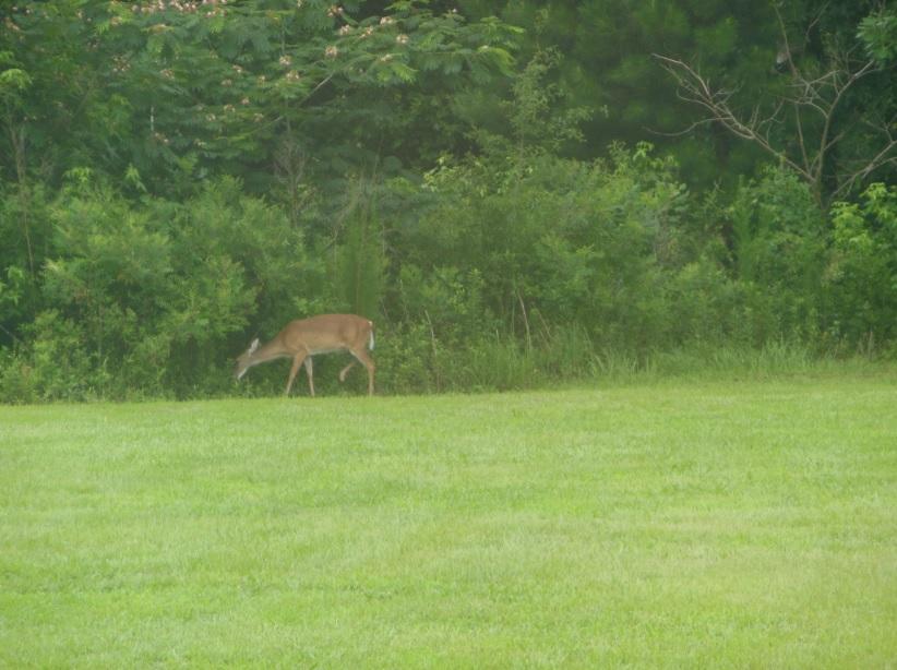 Deer no nosso backyard